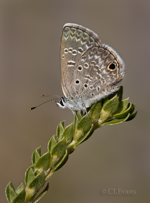 Ceraunus Blue Butterfly on Pineland Heliotrope (Largo)