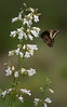 Gold Rim Swallowtail nectaring on White Beardtongue flowers (Largo)