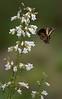Gold Rim Swallowtail nectaring on White Beardtongue flowers (Largo)