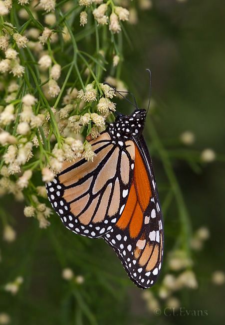 Monarch Butterfly on Saltwater False Willow (Largo)