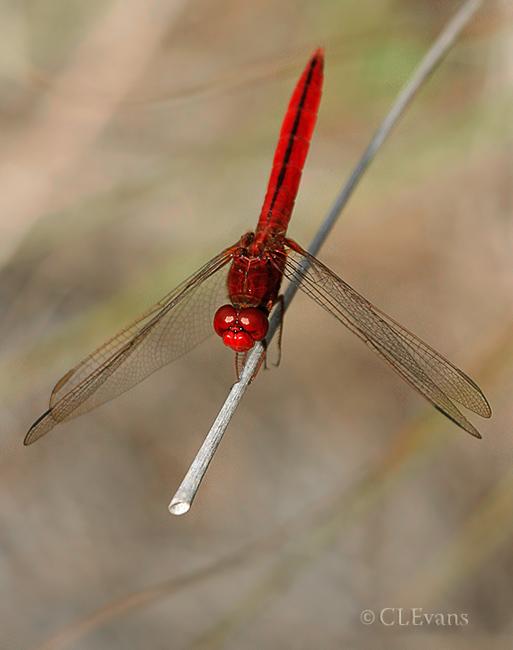 Scarlet Skimmer Dragonfly  (male) (Largo, Florida)