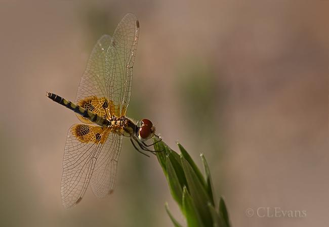 Amanda's Pennant Dragonfly, female (Largo)