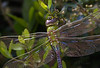 Common Green Darner Dragonfly (Largo)