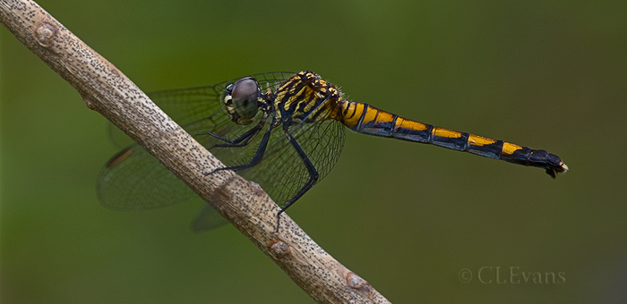 Seaside Dragonlet female (Weedon Island Nature Preserve, Pinellas County)