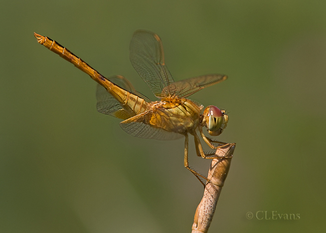 Scarlet Skimmer Dragonfly - female (Largo)