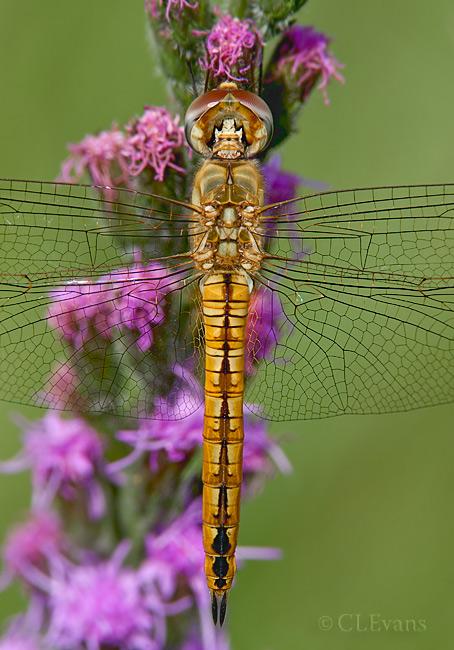 Wandering Glider Dragonfly on Liatris Spicata (Blazing Star)