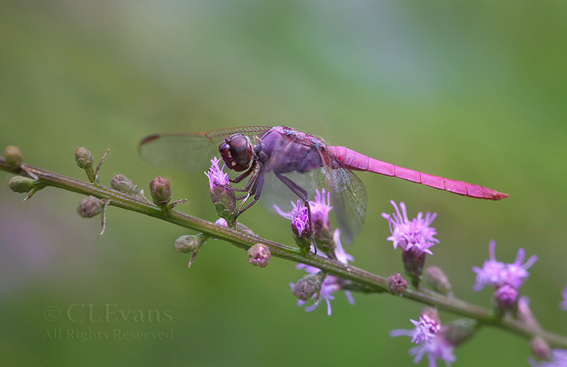 Roseate Skimmer (male) on Blazing Star (Largo)