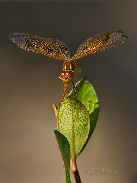 Eastern Amberwing Dragonfly (Largo)
