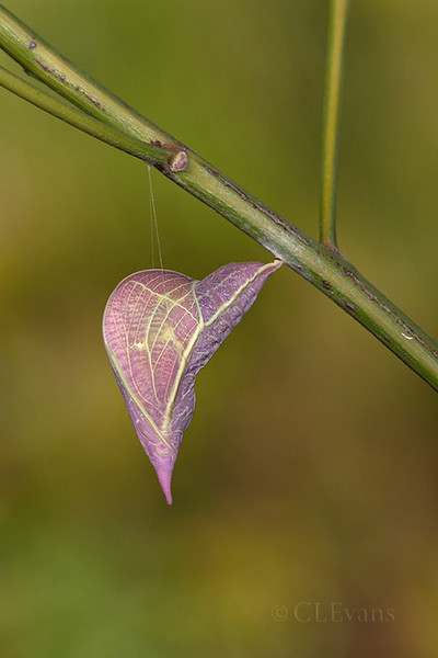 Orange-barred Sulphur Chrysalis (Largo)