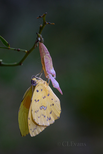 Orange-barred Sulphur (male) drying wings after emerging from chrysalis (Largo)