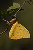 Orange-barred Sulphur female on the shell of its chrysalis (Largo)