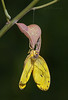 Orange-barred Sulphur Butterfly emerged from chrysalis (Largo) #3