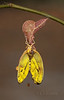 Orange-barred Sulphur Emerging from Chrysalis (female) (Largo)
