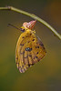 Orange-barred Sulphur butterfly drying her wings (Largo)