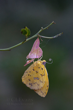 Orange-barred Sulphur Butterflies