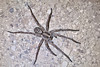 Carolina Wolf Spider, (Hogna carolinensis), top view, (Kissimmee Prairie Preserve)