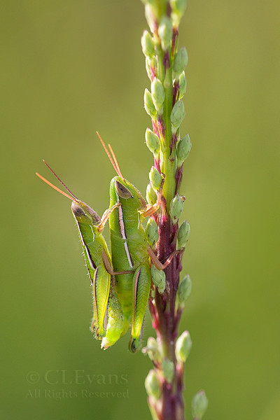 A pair of Linearwinged Grasshoppers (Aptenopedes sphenarioides) mating on a budded Blazing Star (Liatris spp.) flower stalk.