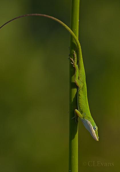 Green Anole (Largo)
