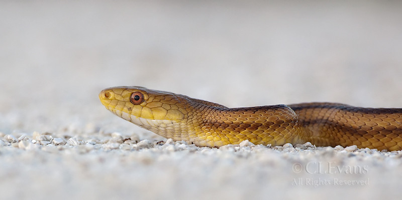Yellow Rat Snake (Elaphe obsoleta quadrivittata) (KPP)