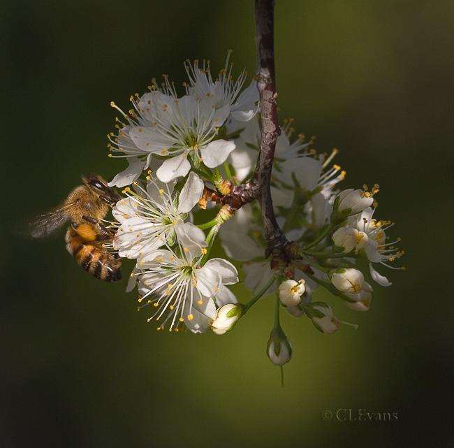 Honey Bee on Flatwoods Plum Blossoms (Largo)