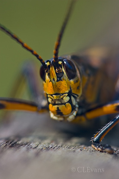 Lubber Grasshopper (Corkscrew Swamp Sanctuary)