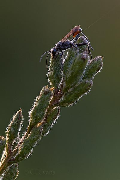 Sleeping Wasp (Sphecidae Family) on Blazing Star (Largo)