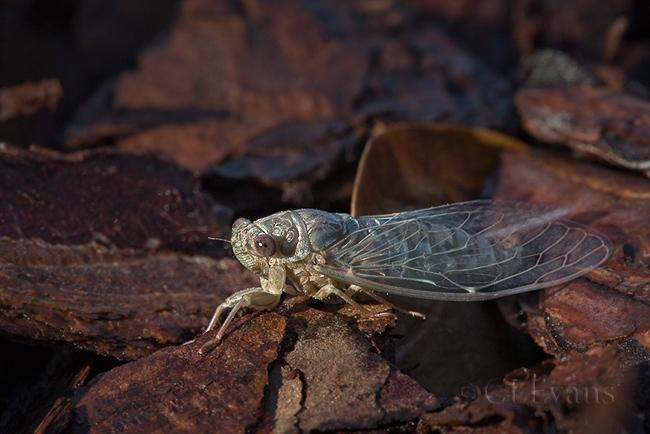 Newly emerged adult cicada (Largo)