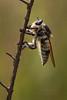 Florida Bee-Killer (Mallophora bomboides) (Kissimmee Prairie)
