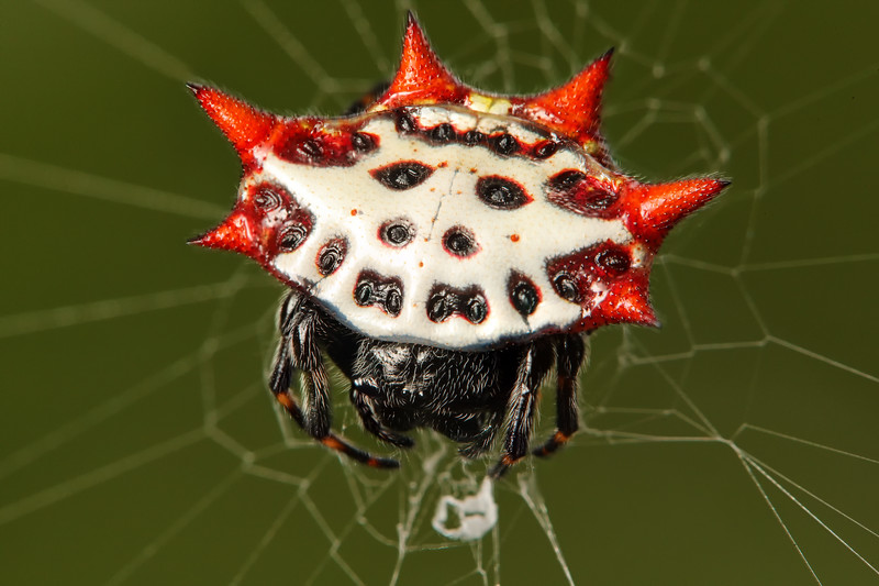 IMAGE: https://photos.smugmug.com/Nature/Insects-Spiders/Araneae/i-HvvLMmH/0/e03ecfa0/L/2017_06_21_13_59_30_1D3_6362-6365-L.jpg