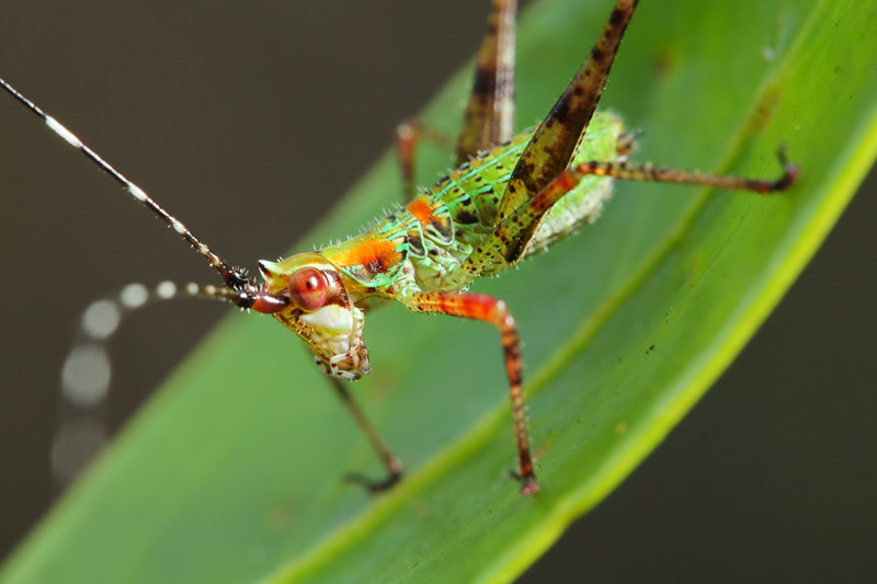IMAGE: https://photos.smugmug.com/Nature/Insects-Spiders/Orthoptera/i-jbxBmj5/1/692864ce/L/2017_07_26_13_49_09_1D3_7914-L.jpg