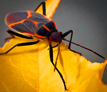 Box Elder Bug  10 25 09  059 - Edit