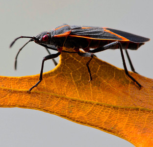 Box Elder Bug  10 25 09  018 - Edit - Edit