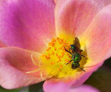 Cuckoo Wasp  07 18 10  006 - Edit CS4