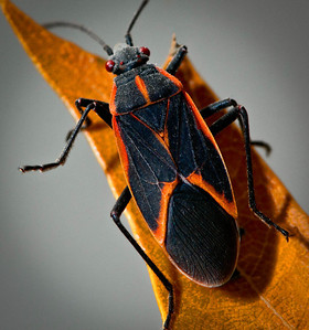 Box Elder Bug  10 25 09  038 - Edit - Edit