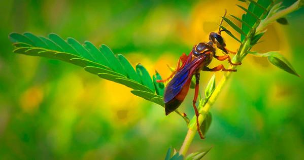 Great Golden Digger Wasp  08 12 09  034 - Edit