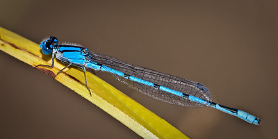 Familiar Bluet male  08 24 09  002 - Edit CS4