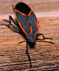 Box Elder Bug  10 08 09  012 - Edit