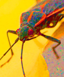 Box Elder Bug  10 25 09  063 - Edit