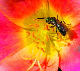 Cuckoo Wasp  07 18 10  016 - Edit - Edit