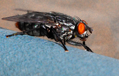 Flesh Fly  10 05 09  004 - Edit - Edit