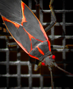 Box Elder Bug  10 05 09  003 - Edit