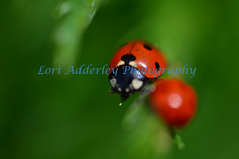 The Ladybug: Love struck ladybug