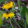 Yellow Jacket wasp on Dandelion