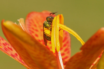 Metallic Green Bee on Blackberry Lily