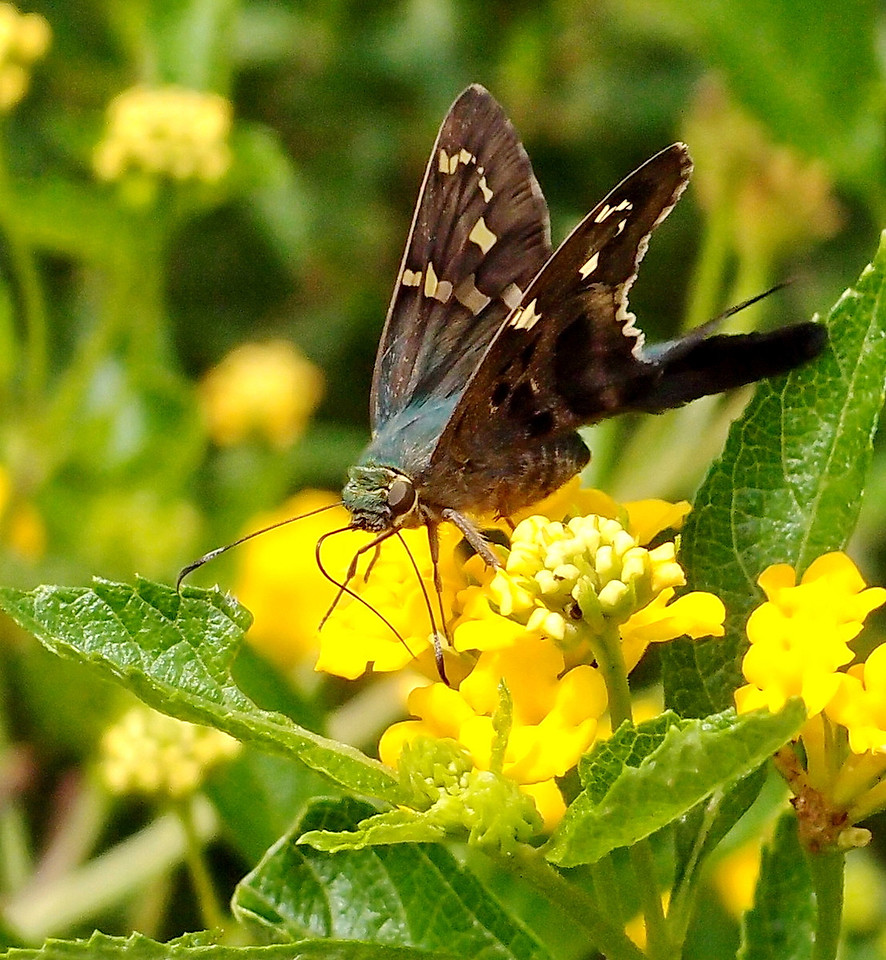 Another skipper