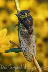 Dew covered Cicada