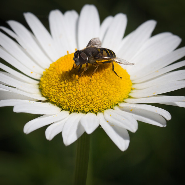 A bee sits on a daisy on a bright June day