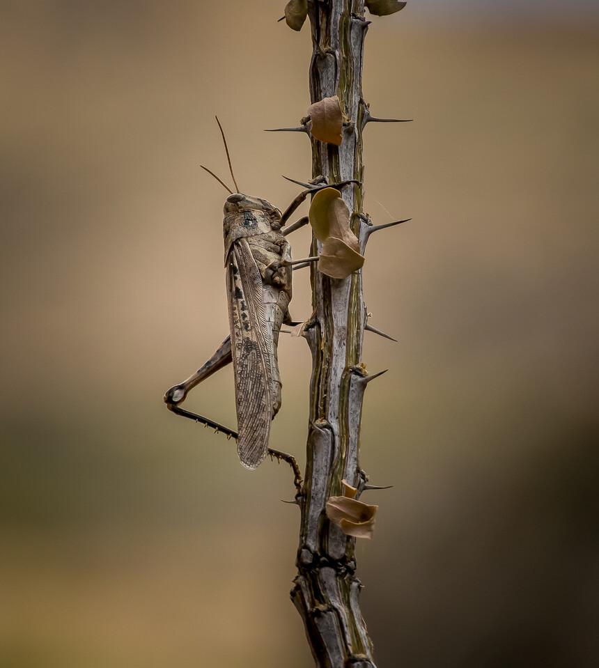 Grasshopper in Big Bend TX