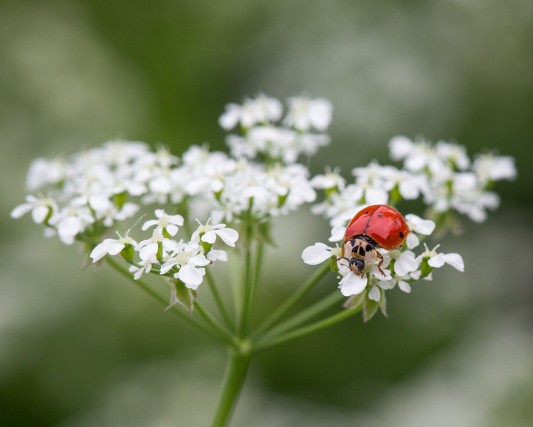Ladybug on wildflower