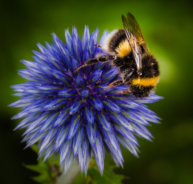 Bee and Allium Flower